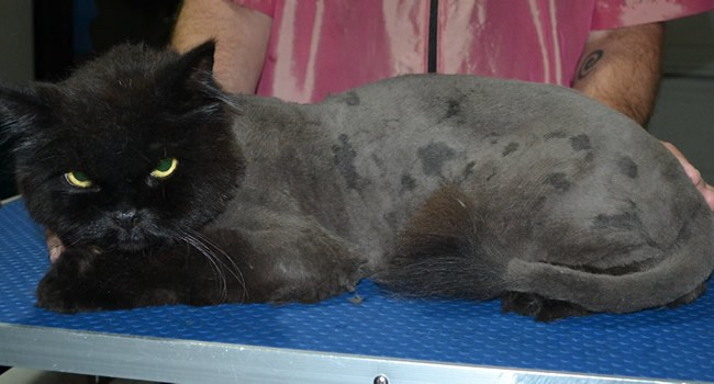 Guiness is a Persian X Maine Coon. He had his matted fur shaved down, nails clipped and ears cleaned.