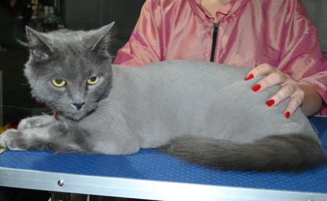Casper is a Long Hair Russian Blue. He had his matted fur shaved down, nails clipped and ears cleaned.