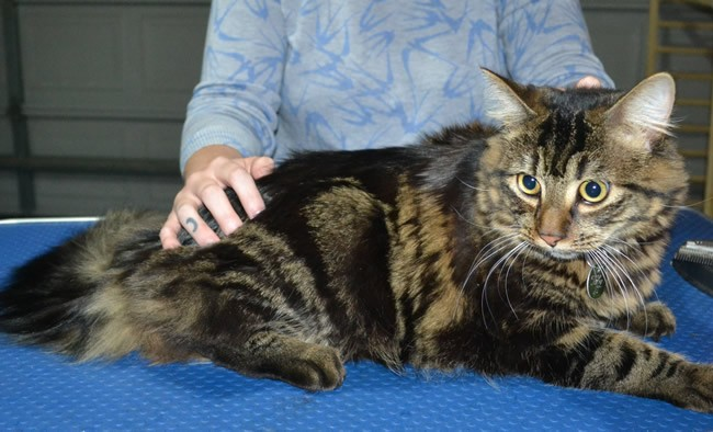 Toby is a Medium Hair Domestic. He had his fur shaved down, nails clipped and ears cleaned.