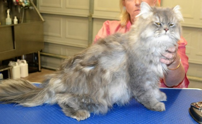 Sparky is a Persian Chinchilla.