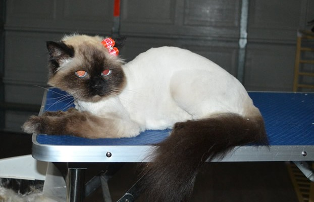 Cassey is an old Himalayan.