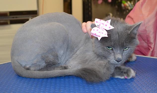 Ollie is a Long Hair Russian Blue.