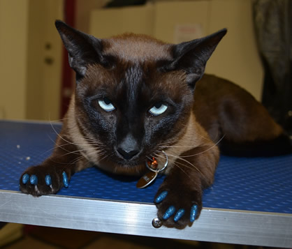Mishka is a Tonkinese with Blue Softpaws.