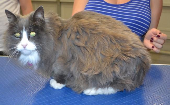 Lola is a Long Hair Domestic.