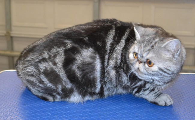 Loki is an Exotic Short Hair with Softpaws.