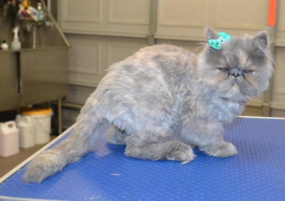Missy is a 4 mth old Persian. She had a comb clip.