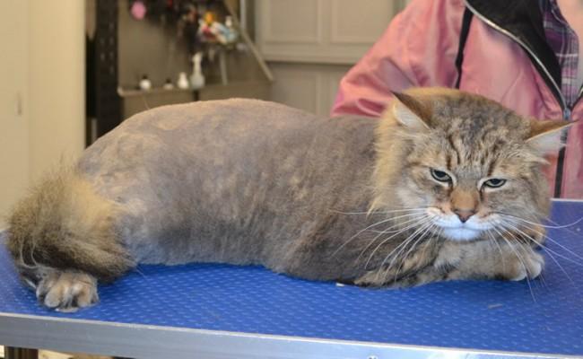 Jonesy is a Pixie Bobcat all the way from California.