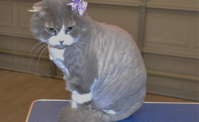 Maggie is a Scottish Fold.