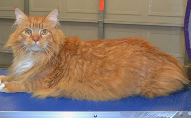Archie is a 14kgs Maine Coon.