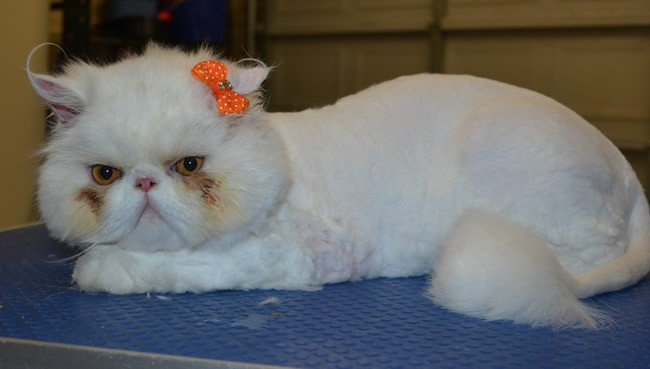 Lilly is a Persian.