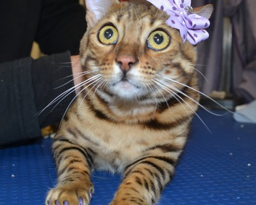 Gigi is a Bengal and is wearing Softpaws.