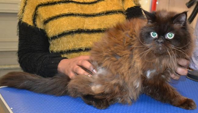 Simba is a Persian Himalayan.