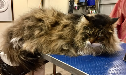 Napoleon is a 2 yr old Maine Coon, weighing in at 9.6kgs. He has another 3 more yrs of growing. He is going to be a big boy.