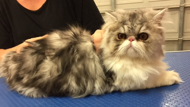 Zoomie is a Persian.