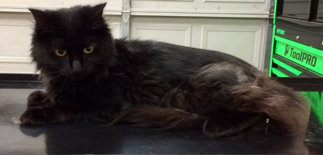 Shadow is a medium hair domestic.
