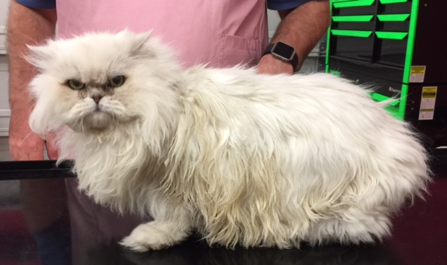 Daddy Cat is a Chinchilla Persian.