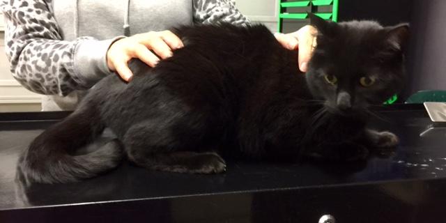 Tiesto is a Short hair domestic.