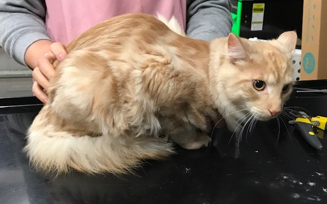 Alfie is a Medium to long hair domestic.