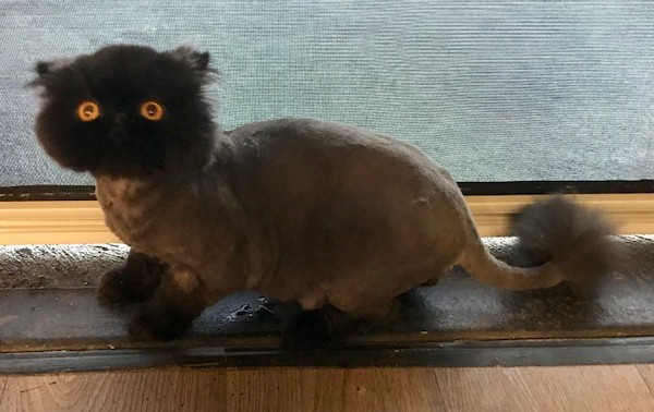 Dozer is a Persian.